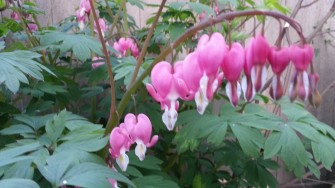 Bleeding hearts in a restaurant patio in Guerneville.
