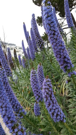 Beautiful blue echium on Noe.