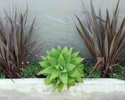 Nice grouping of Agave attenuata and Phormium up on Douglass St.