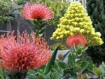 Leucospermum and Aeonium in bloom.