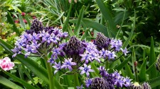 Scilla peruviana at City College.