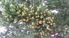 Flowering Monterey cypress.