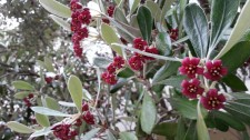 Red flowers of Pittosporum.