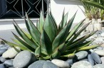 Agave 'Blue Glow' somewhere in Eureka Valley. 21st St, I do believe.