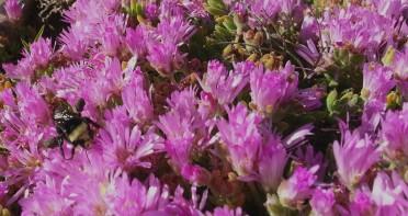 A bumblebee happily collecting pollen on a profusely flowering Persian carpet (Drosanthemum floribundum.)