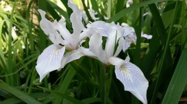 Beautiful pale irises in Woodside.