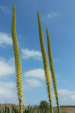 Tall octopus agave (Agave vilmoriniana) blooms in SoCal.