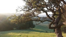 Engelmann oaks on the Santa Rosa Plateau.