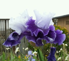 Irises at CCSF that fade into the foggy sky.