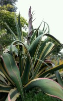 A beautiful wind-up to flowering. This agave at CCSF is sending up its last hurrah.