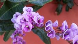 Hardenbergia violacea, from a neighborhood walk.
