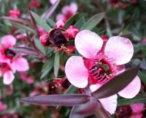 Macro of tea tree - Leptospermum.