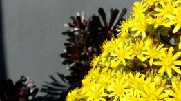 Love this one! Flowering Aeonium 'Zwartkopf'.