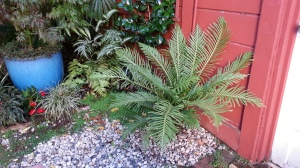 This is the 'Silver Lady' dwarf tree fern. It'll get about three feet of trunk, eventually. The rose-toned one will get this spectacular!