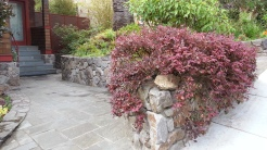 I just love how this loropetalum pours over the wall. You can see how easily it could be shaped, if you wanted that.