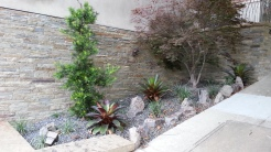 These bromeliads give a nice, rounded base to the podocarpus trees.