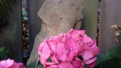 Our dwarf pink hydrangea.