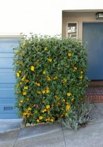 A cubed flannel bush!