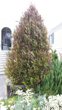 Here's a dodonaea tree, trimmed into a topiary shrub...
