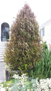 Here's a dodonaea tree, trimmed into a topiary shrub...