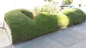 Even this rosemary can be sheared into a sculptural hedge!