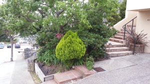 Chamaecyparis is a commonly-used conifer that is a great sub for boxwood.