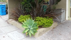 Another great agave form.