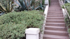 A stairway hedge of rockrose! Very shapable.