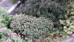 Purple-flowering hebe, with cotoneaster at the base. Same shapes as you'd get with boxwood, only interesting.