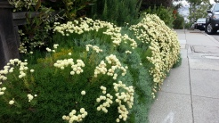 These flowering plants can even be trimmed like a low hedge.