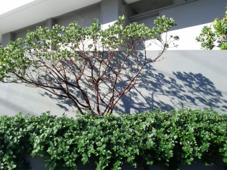 CA native ceanothus as a hedge! Benefit local insects, and still have the border of green.