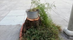 A neighbor on Castro took out a diseased California pepper tree. This is their temporary replacement. :)