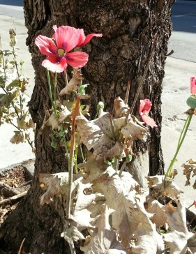 Opium poppies fading away on Castro.