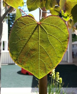 A redbud leaf at my mom's apartment in Guerneville, CA.