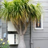 Biggest beaucarnea I've ever seen! This ponytail palm is on the corner of Noe and Alvarado.