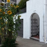 Street tree well planted with sunflowers! Clayton St, above Corbett.