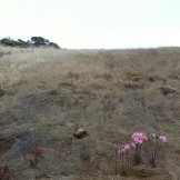 Naked ladies strutting at Kite Hill.