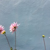 Dahlias, simple against a blue wall on Corbett or thereabouts.