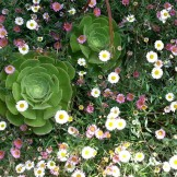 Aeonium being swallowed by Santa Barbara daisy on Grandview Terrace.