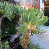 Spectacular Aloe plicatilis on Graystone Terrace.