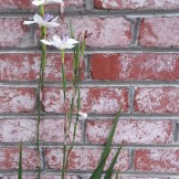 Nice tableau of fortnight lily against a brick wall.