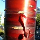 Peeling cherry bark on Liberty.