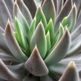 A newbie in the club: Echeveria craigiana at Flora Grubb Gardens.