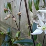 Clematis in a client's garden under Sutro Forest.