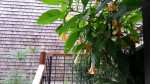 My Sutro Forest client's garden has this brugmansia (Angel's Trumpet) that is seriously taking off. Last week I didn't have to duck under it. Crazy fast.