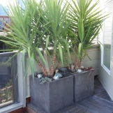 After: Triangle deck with screen of Yucca elephantipes.