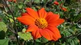 A HOT orange! Volunteer plant that Jima loves.
