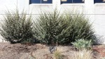 Flannel bush for a skin-irritating blockade.
