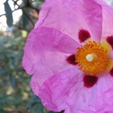 Crepe petals of Cistus (rock rose) in Seward Park.