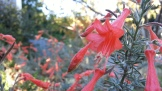 """California fuchsia"" (Zauschneria californica) in Seward Park."